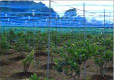 ブルーベリー農園