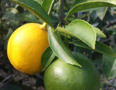 ブルージュの丘こだわりのマイヤーレモン